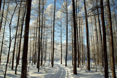 Winter sunny day in the forest. Trunks of trees. Vertically striped background.