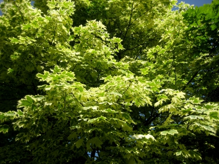 Maple leaves are silvery  The green background of leaves Stock Photo - 14751019