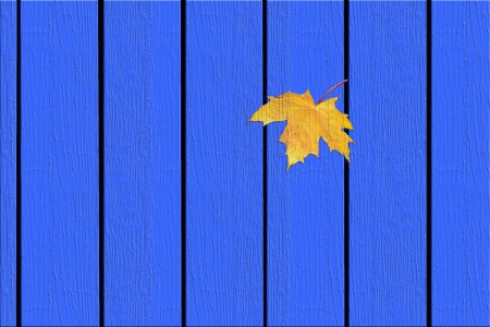 Yellow maple leaf on the blue fence. photo
