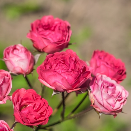 bush to grow up: Flowers roses in the garden  A beautiful background