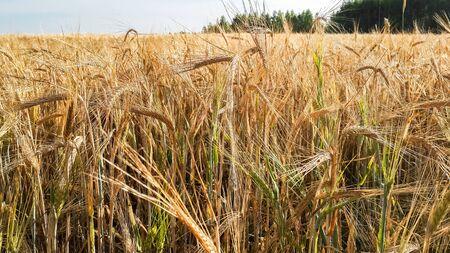 Ears of wheat in the field.