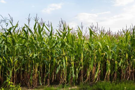 Green corn field in the summer against the sky. Horizontal photo. Overall plan. Zdjęcie Seryjne