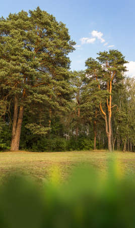 Landscape with old beautiful pine trees with a meadow. Vertical frame. Nature's premise for great walking, running, fun for the whole family.