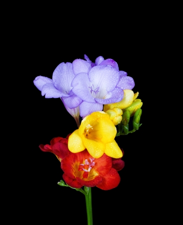three freesias isolated on black photo