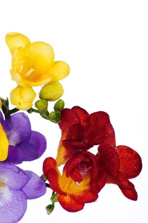 yellow and violet fresia on white Stock Photo - 16892205