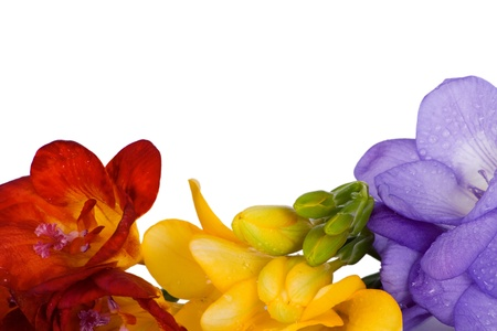 Beautiful freesia different colors isolated on white background