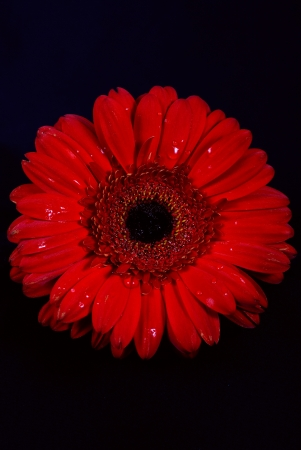 Red daisy flowers on white background