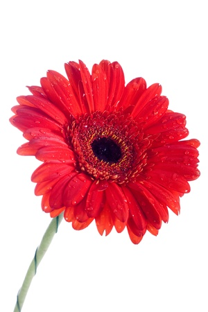 Red daisy flowers isolated in white background