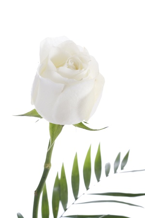 long stem roses: Early morning shot of a beautiful white rose