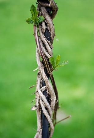 Liana winds around an iron rod and gives the new leaves