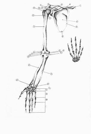 collarbone: Anatomical skeleton collarbone, hands and fingers isolated
