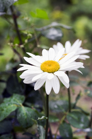 Beautiful daisy flower. Close up. photo
