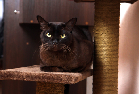 chins: Portrait burmese cat lying and posing looking into the lens.