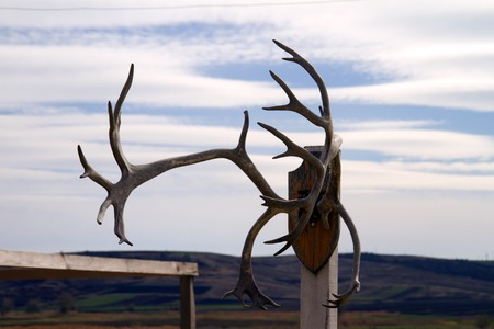recess: hunting trophy, deer horns hanging on a white wall, in an arch recess.