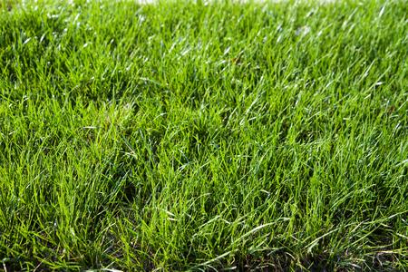 Closeup shot on green grass background