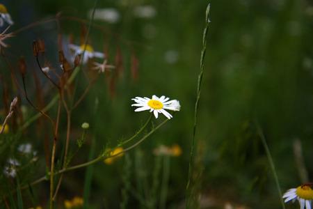 Chamomile Flower in a green field.