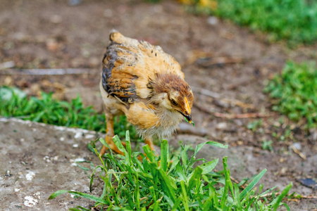 Chicken in nature tingle the green fresh grass