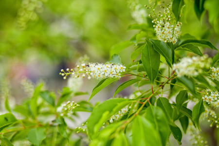 Beautiful spring blossoming tree on green background