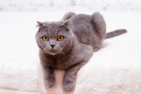Portrait grey cat breed of Scottish Fold lop-eared. Stock Photo