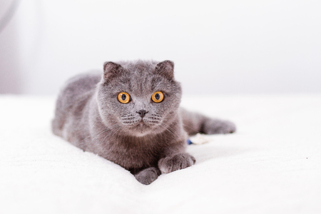 lop eared: Gray thoroughbred thoroughbred Scottish lop-eared cat