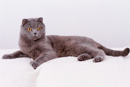 lop eared: Portrait grey cat breed of Scottish Fold lop-eared. Stock Photo