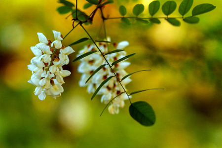 Acacia flowers and leaves with shallow depth of field