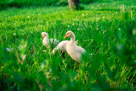 Little geese grazing in summer on green grass