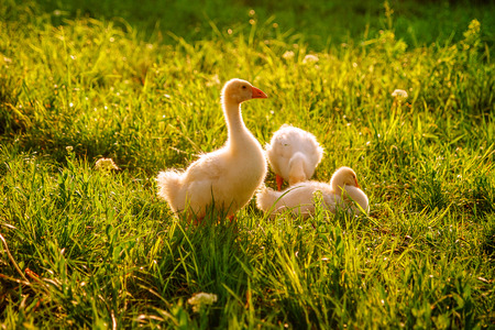 Baby geese take a break. Stock Photo
