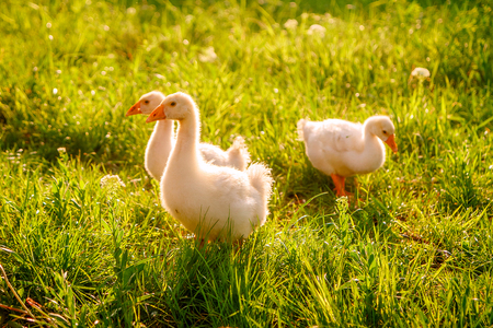 Baby geese in the spring Stock Photo