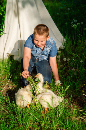 Boy feeds the geese with grass outdoors