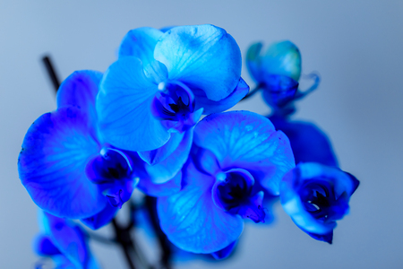 Blue orchid on a cold background, delicate macro flower 写真素材