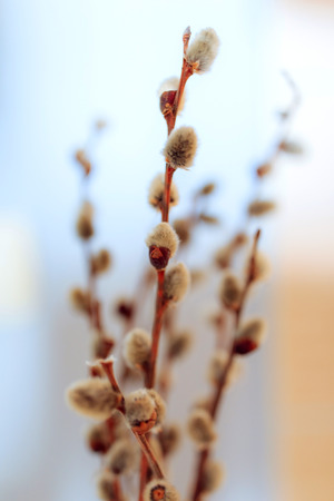 First signs for departing winter and coming spring: opening willow-catkins