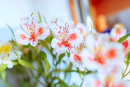 Vibrant bouquet of Alstroemeria flowers 写真素材