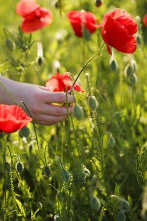 Summer sunset and hand picking poppy flower