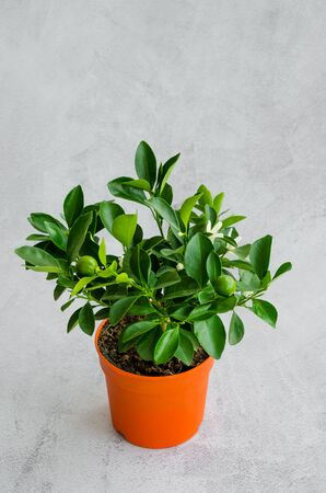 Houseplant blooming citrus tree tangerine or orange with small green fruits in a pot on a gray background. Vertical orientation. Copy space