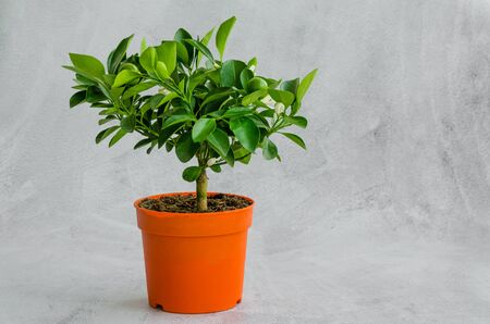 Houseplant blooming citrus tree tangerine or orange with small green fruits in a pot on a gray background. Horizontal orientation. Copy space Banque d'images