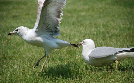 sea gulls Banco de Imagens
