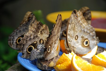butterflies on oranges Stok Fotoğraf
