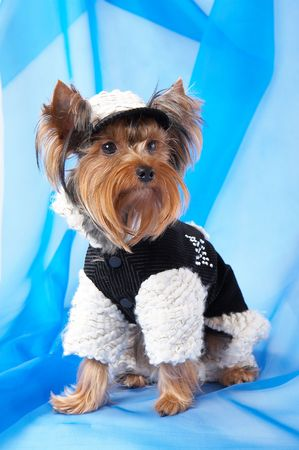 souvenirs: Yorkshire Terrier in the jacket and cap