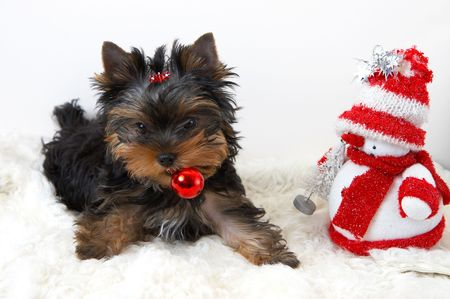 souvenirs: yorkshire terrier puppy  with a New Years toy in a teeth Stock Photo