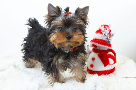 souvenirs: yorkshire terrier puppy  with a snowman