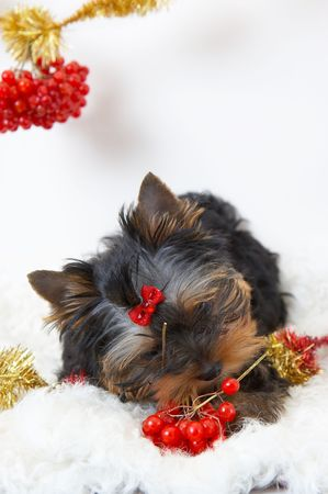 guelderrose: The puppy of the yorkshire terrier gnaws a branch of a guelder-rose