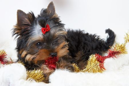 souvenirs: The puppy of the yorkshire terrier  Stock Photo
