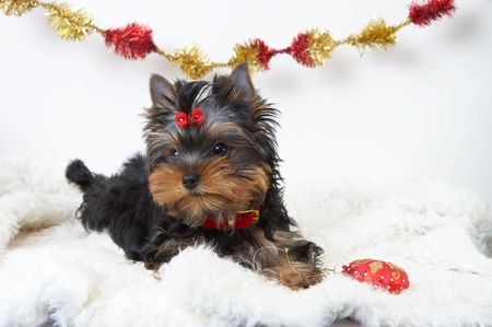 The puppy of the yorkshire terrier  Banco de Imagens
