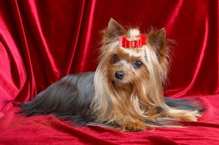 yorkshire terrier on the red velvet background