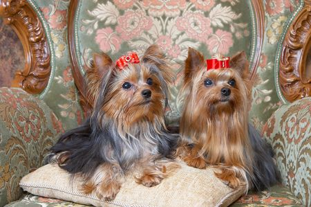 yorkshire terriers on a pillow of a beautiful armchair