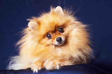 dog grooming: Pretty Pomeranian on a  dark blue background Stock Photo