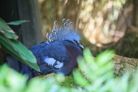 Goura or Crowned pigeon  in Loro park, Tenerife, Spain