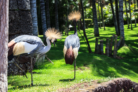 Balearica pavonina  or Crowned Crane in Loro park, Tenerife, Spain