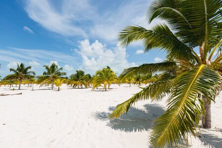 Palm trees with yellow and green pinnated leaves growing on a beach with white sand. Midday bright sun shining from azure blue sky. Few white heap clouds hanging over the horizon. Stock Photo
